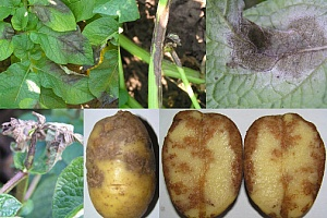 Агротехника картофеля-4