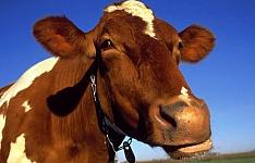 Обращение к жителям города, содержащим крупный рогатый скот